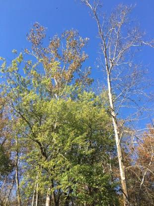 Narrows Trees